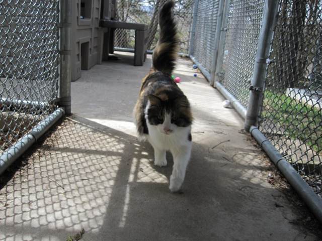 A view from within the cats' outside area. Pretty Ju Ju came running toward the camera.