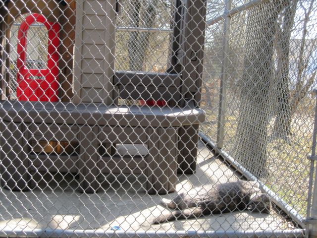 The cats have an enclosed outdoor play area, open during good weather. Panama shows how much she enjoys being out in the sun.